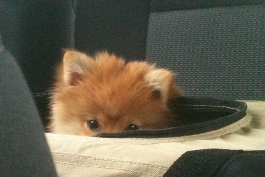 Photo of Baby Maddie, our Pomeranian, peeking out of her carrier on Photo Gallery of Not So Mommy...