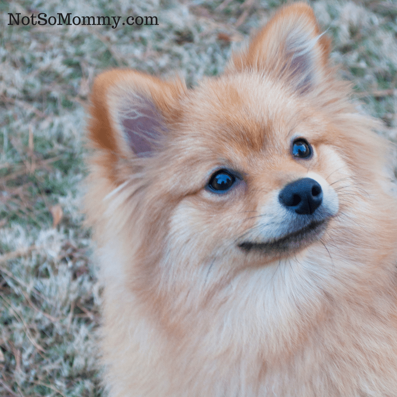 Photo of Pomeranian Maddie looking up on Dog Mom Proud: Redefining Momhood on Dog Mom / Infertility Blog on Not So Mommy...