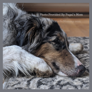 """Photo of Pagal on """"Our 'Pet Parent Life' Stories: Pagal's Mom"""" on Not So Mommy..., a childless dog mom blog"""
